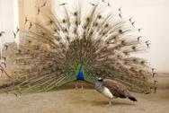 Stock Photo of Male peacock tail spread tail-feathers
