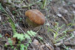 Funghi porcini. Stock Photos