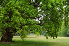 old oak tree - stock photo