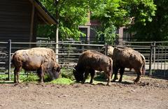 Three bizones in city zoo Stock Photos