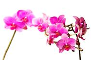 Stock Photo of magenta orchids