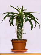 houseplant the oueen of the desert - stock photo