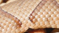 Venomous Copperhead Closeup Stock Footage