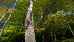 The birches Stock Footage