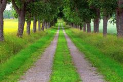 avenue of maple trees - stock photo