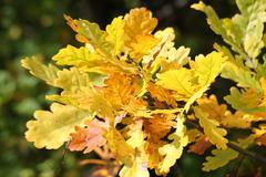Kauniita keltaisia lehtiä tammea Kuvituskuvat