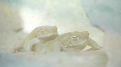 Frogs. amphibian animals Stock Footage