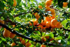 Apricot  tree branch and fruits. Stock Photos
