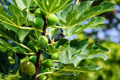 fig tree leafs and fruits. - stock photo