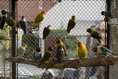 Parrots - Agapornis - stock photo
