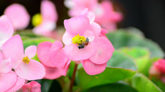 Begonia flowers and bee - stock footage