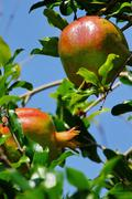 Pomegranate branch  and  fruits. Stock Photos