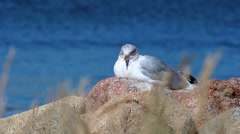 A seagull resting Stock Footage