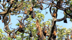 Fruit bat colony hanging in tree Stock Footage