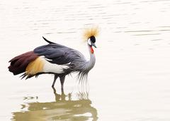 grey crowned crane - stock photo