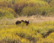 Moose cow (alces alces) eating twigs in willow landscape, autumn - medium shot Stock Footage