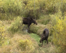 Moose cow (alces alces) and calf in creek, eating twigs, autumn Stock Footage