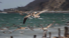 Pelicans Diving For Fish 21 - stock footage