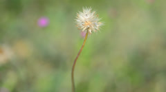 Grass flower in wind Stock Footage