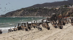 Squadrons of Pelicans On Beach 17 Stock Footage