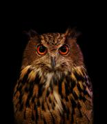 close up face of owl on black - stock photo