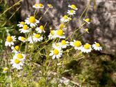 Stock Photo of wild camomile