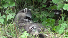 Stock Video Footage of Raccoon Twins - 01