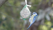 Stock Video Footage of Small Bird Feeding - Cyanistes Caeruleus