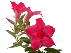 mandevilla flowers - stock photo