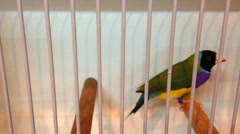 Beautiful Gouldian Finch - stock footage