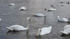Swan cygnets feeding on a river 8370_02 Stock Footage