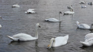 Stock Video Footage of Swan cygnets feeding on a river 8370_02