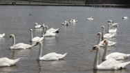 Stock Video Footage of Swan cygnets feeding on a river 8369_02