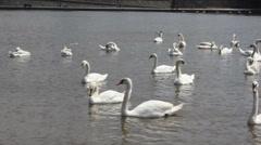 Swan cygnets feeding on a river 8369_01 Stock Footage