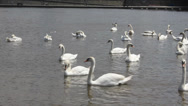 Stock Video Footage of Swan cygnets feeding on a river 8369_01