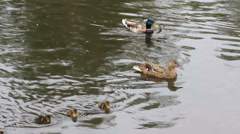 Ducks with ducklings swimming in lake 8311 Stock Footage