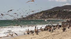 Pelicans Feeding at Malibu Beach 07 Stock Footage