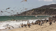Stock Video Footage of Pelicans Feeding at Malibu Beach 07