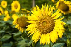 closeup of the beautiful sunflowers - stock photo