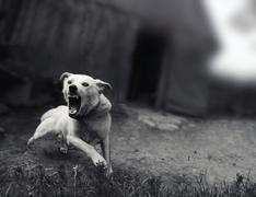 Dog barking sepia Stock Photos