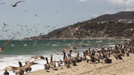 Stock Video Footage of Pelicans Feeding at Malibu Beach 05