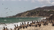 Stock Video Footage of Colony of Pelicans On Beach