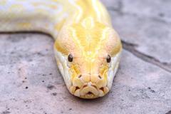 albino phyton head - stock photo