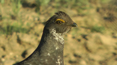 Dusky grouse (blue grouse) male head shot Stock Footage