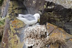 Seagull in the nest - iceland Stock Photos