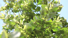 Linden tree, branches Stock Footage
