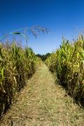 Farmlands - Long Trail Through Corn Field - stock photo