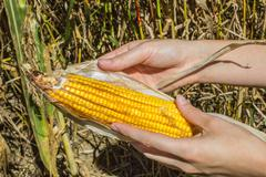 Farmlands - Hands Shucking an Ear of Corn - stock photo