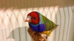 Beautiful Gouldian Finch - stock footage