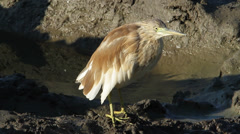 Squacco Heron Ardeola ralloides Stock Footage